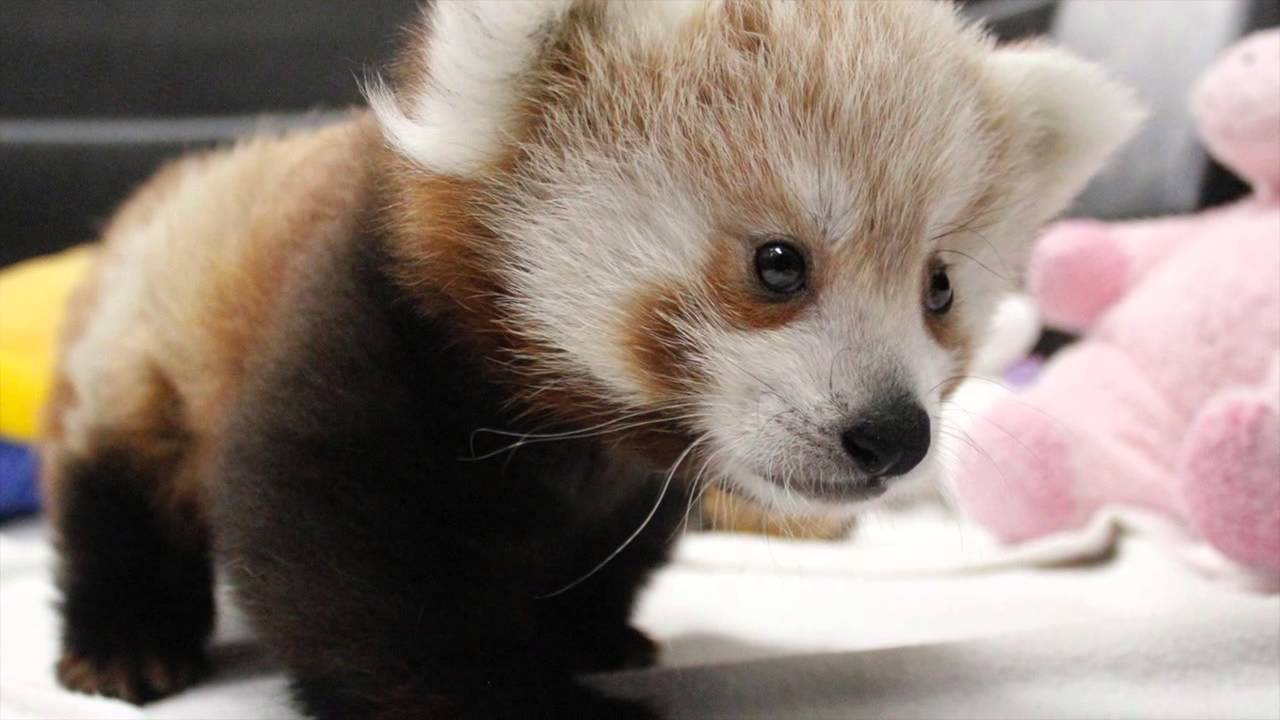 red panda pictures kids search