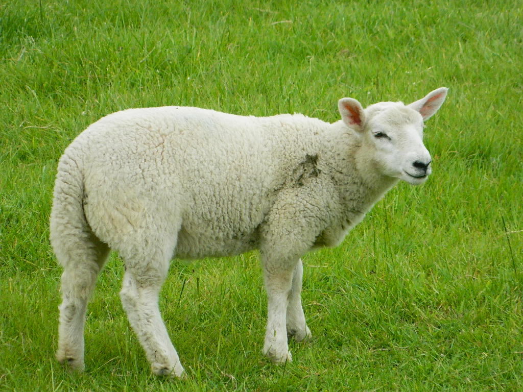 Sheep Pictures - Kids Search Pictures Search