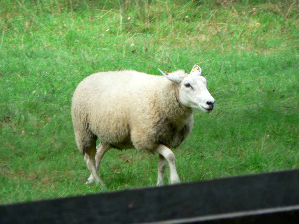 Sheep Pictures - Kids Search
