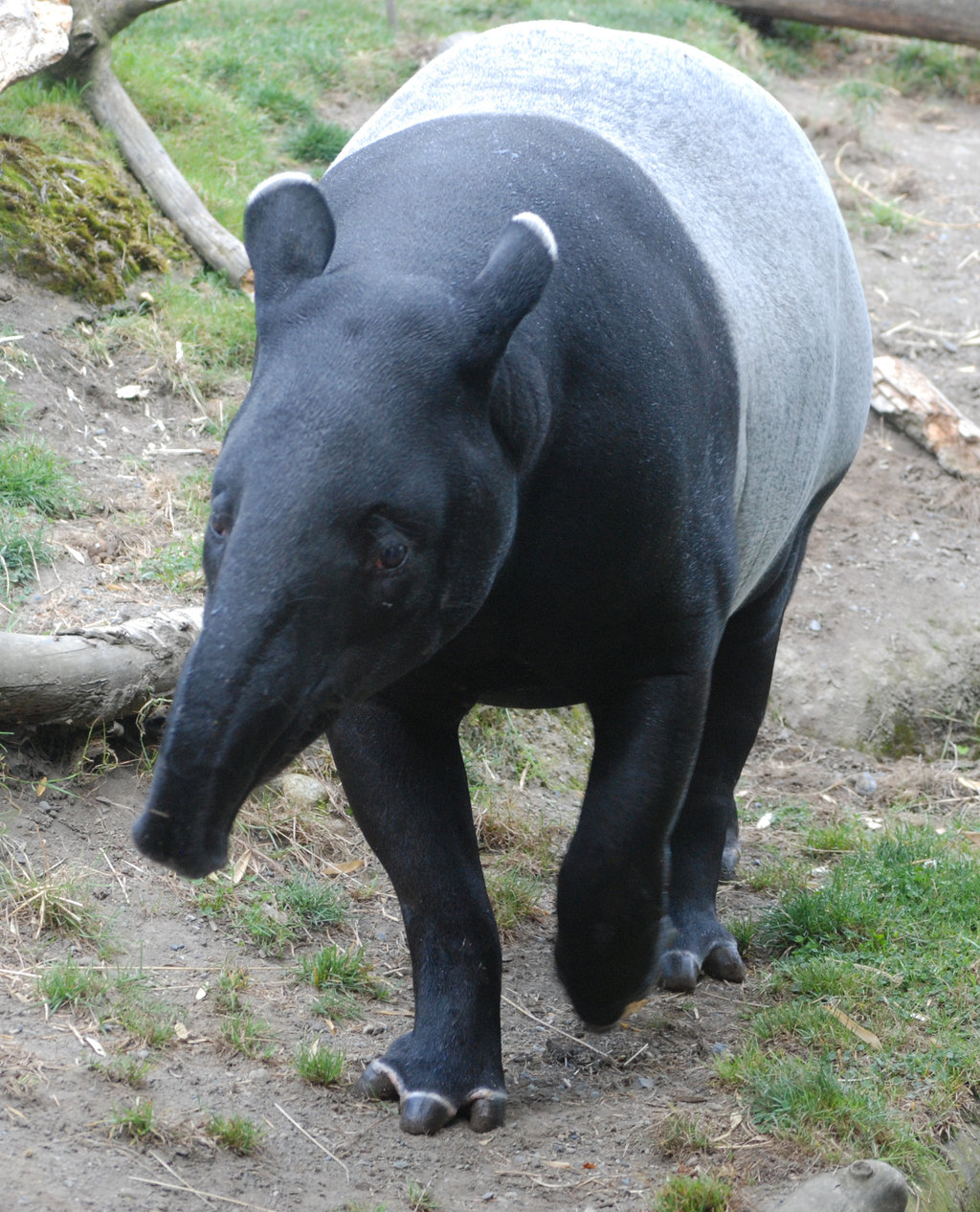 tapir coloring pages for kids - photo#35