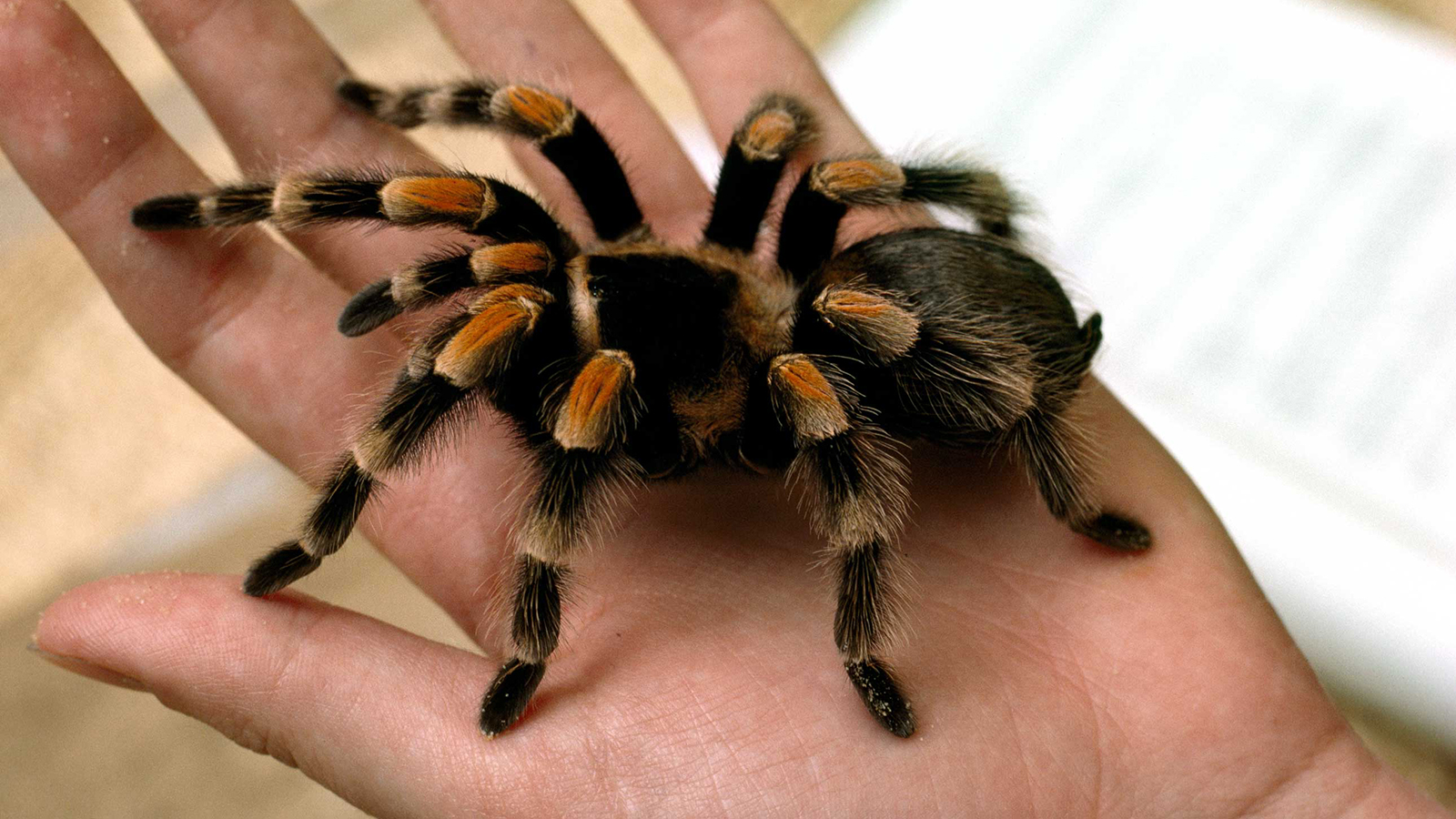 Tarantula Pictures - Kids Search