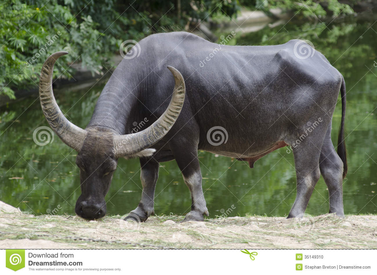Water Buffalo Pictures Kids Search
