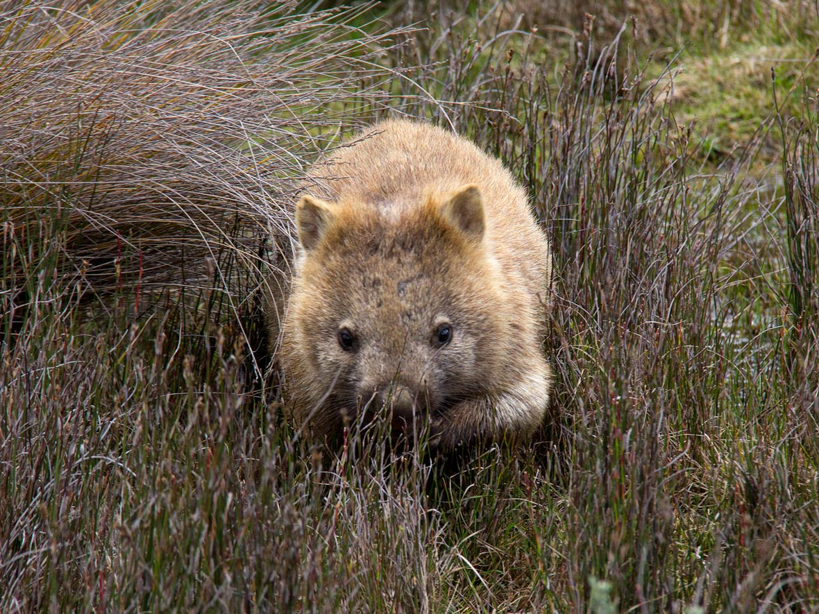 Wombat Pictures Kids Search