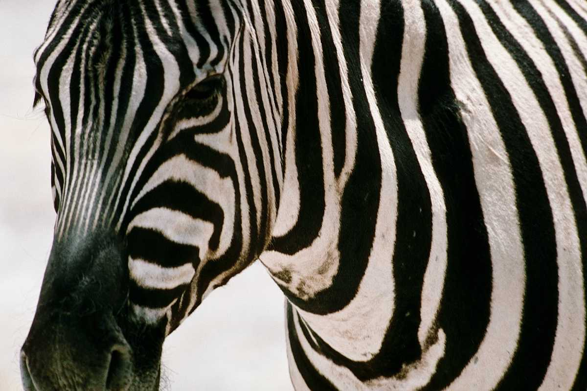 Zebra Pictures Kids Search